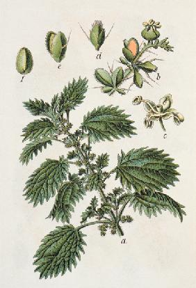 Small Nettle / from J.Sturm
