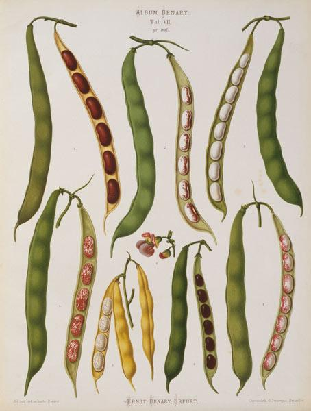 Bush beans, Album Benary / Lithograph
