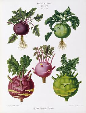 Kohlrabi, Album Benary / Colour lithogr.