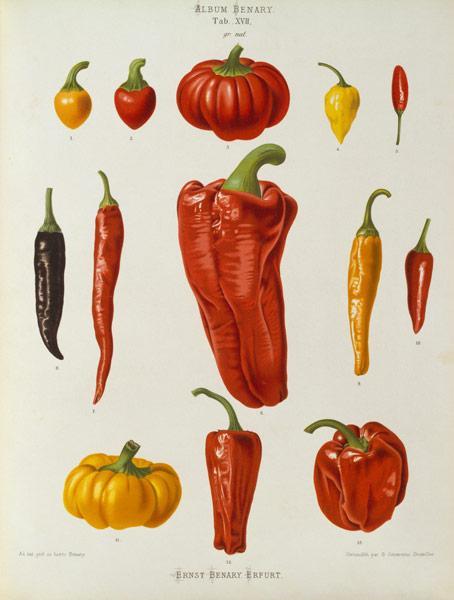 Pepper, Album Benary / Colour lithograph