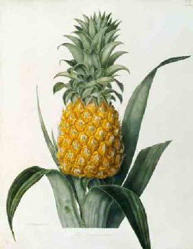 Pineapple / Lithograph after Hooker