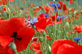 Poppies&cornflowers_1