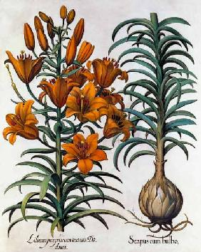 Lilium purpureum mauis Do danei and Scapus cum bulbo engraved by German School
