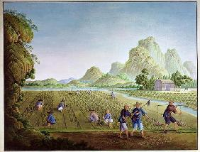 Rice cultivation in China, transplanting plants (colour litho)