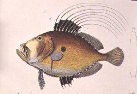 "John Dory, from ""Iconographie du Regne Animal"", 1829-44"