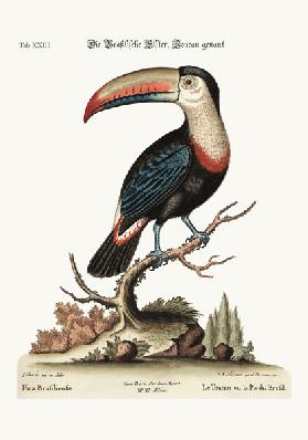 The Toucan or Brasilian Pye