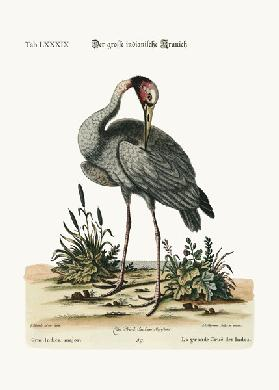 The greater Indian Crane