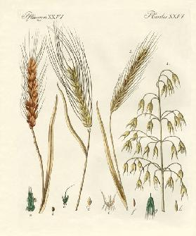 Kinds of grain