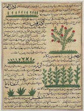 Ms E-7 fol. 142b Botanical plants, illustration from 'The Wonders of the Creation and the Curiositie