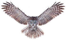 Power - Great Grey Owl