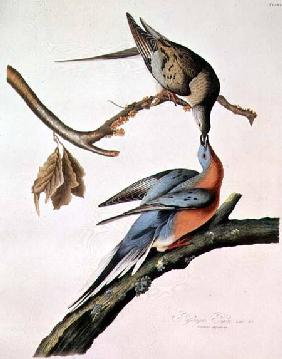 Passenger Pigeon, from 'Birds of America'