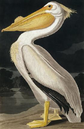 American White Pelican, from 'Birds of America', engraved by Robert Havell