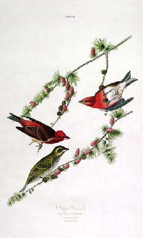 Purple Finch, from 'Birds of America', engraved by William Home (1788-1859) (coloured engraving)