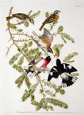Rose-breasted Grosbeak, from 'Birds of America', engraved by Robert Havell (1793-1878) (coloured eng