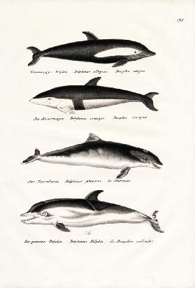 Different Kinds Of Dolphins