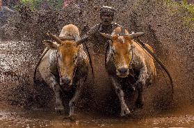 The Racing Cows