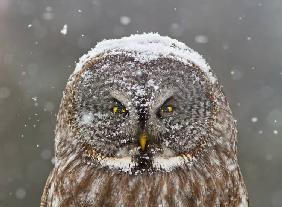 Great Grey Owl Winter Portrait