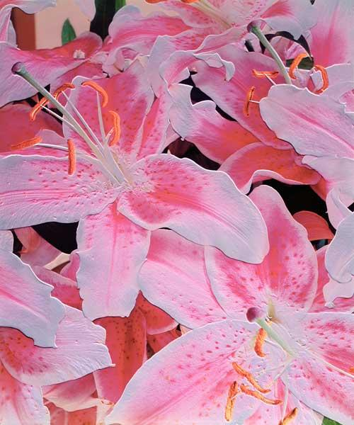 Tiger lily relief, 1999 (colour photo)
