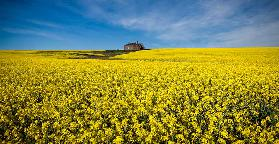 The canola field