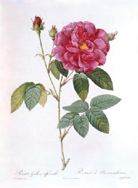 Die Rose Rosa Gallica officinalis.