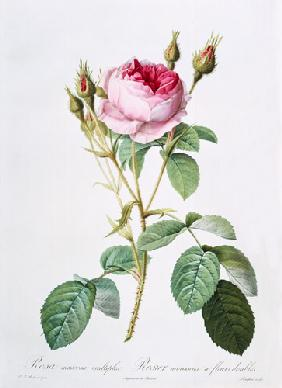 Rosa muscosa multiplex (double moss rose), engraved by Langlois, from 'Les Roses'