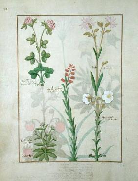 Ms Fr. Fv VI #1 fol.128v Top row: Red clover and Aube. Bottom row: Bellidis species, Onobrychis and