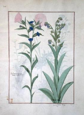Ms Fr. Fv VI #1 fol.130v Pulmonaria and Lungwort, illustration from 'The Book of Simple Medicines'
