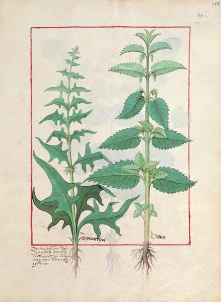 Urticaceae (Nettle Family) Illustration from the 'Book of Simple Medicines' by Mattheaus Platearius