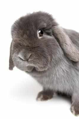 rabbit isolated on white