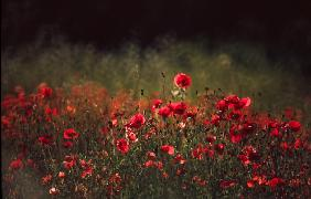 Meadow with poppies 5